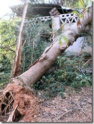 Damaged building behind a tree lifted out of the ground in the Pitchandikulam Forest. Photo: QSA